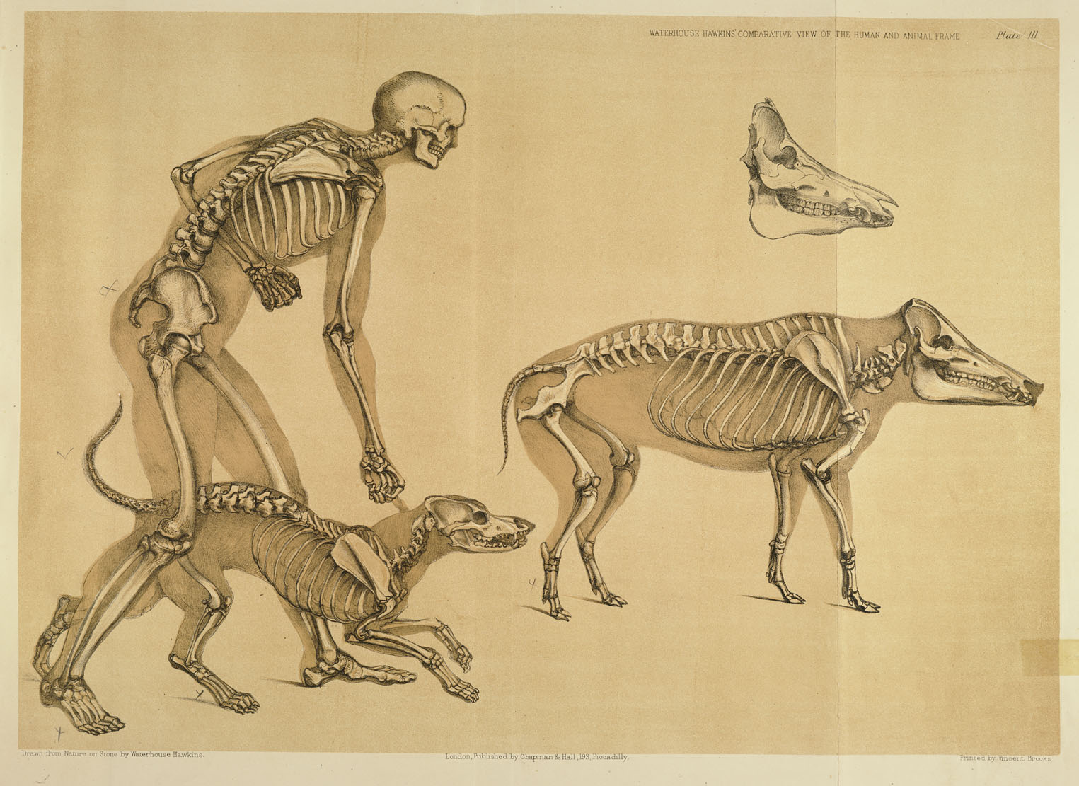 History Of Science A Comparative View Of The Human And Animal Frame